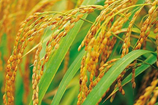 草莓app成年版 水稻全程施肥方案