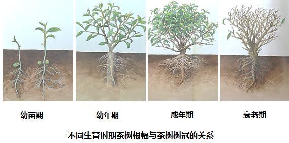 茶树管理图片